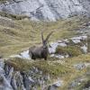 Piz Lischana - Beeindruckend imposantes behorntes Tier (nicht: Geweih!)
