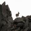 Steingeisen am Grat zwischen Piz Vallatscha und Piz Miez